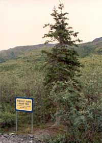 Northernmost spruce tree on the Dalton Highway